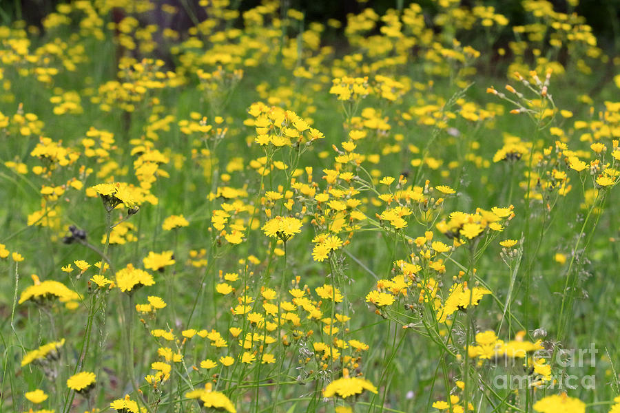 Wildflower Photograph - Pretty In Yellow by Kathy DesJardins