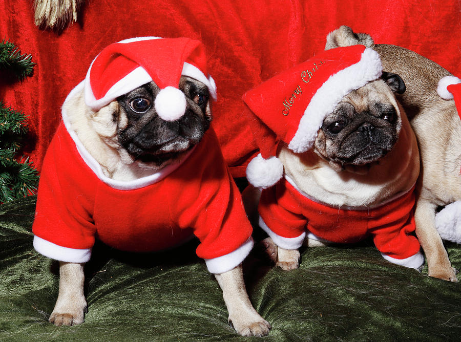 Pugs Dressed As Father Christmas Photograph