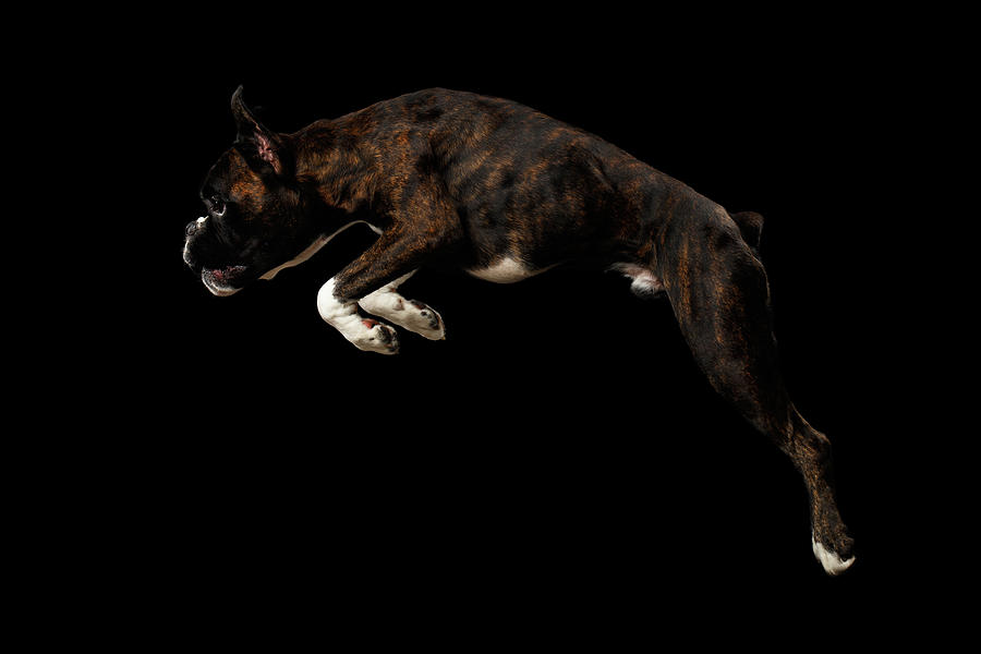Boxer Photograph - Purebred Boxer Dog Isolated On Black Background by Sergey Taran