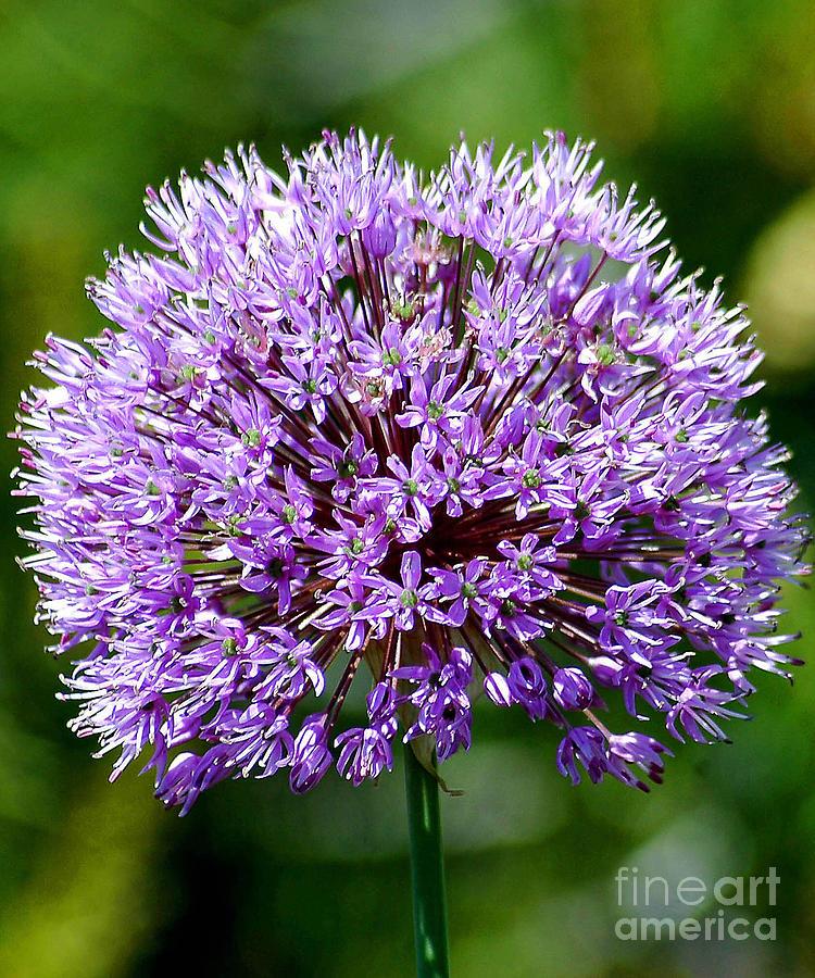 Purple Allium by Robert  Suggs