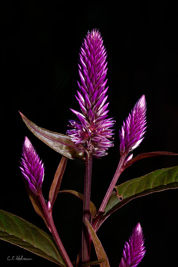 Flower Photograph - Purple by Christopher Holmes
