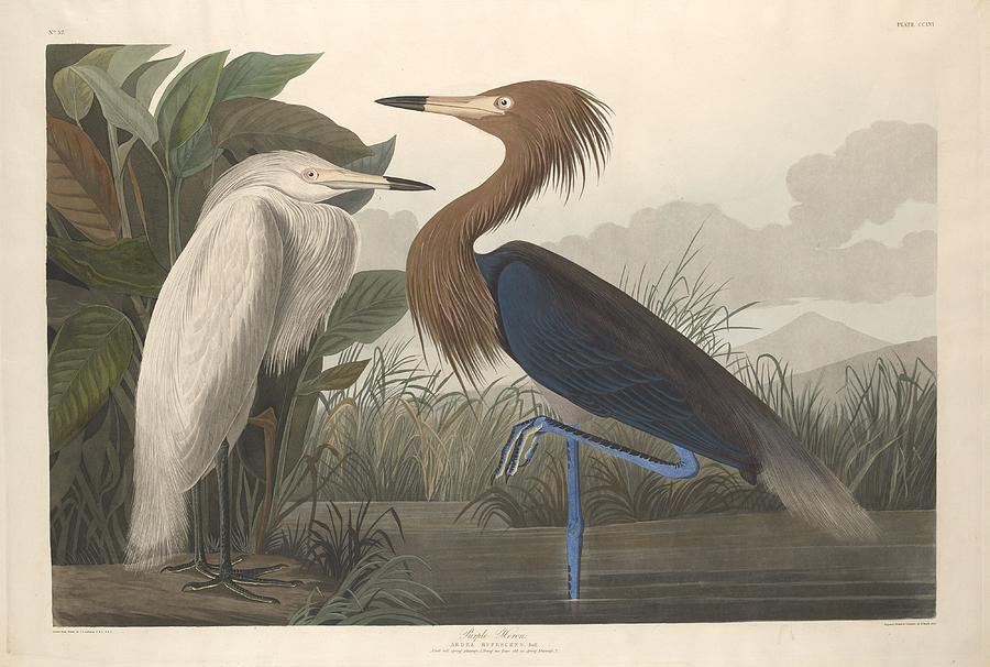 Audubon Drawing - Purple Heron by Dreyer Wildlife Print Collections