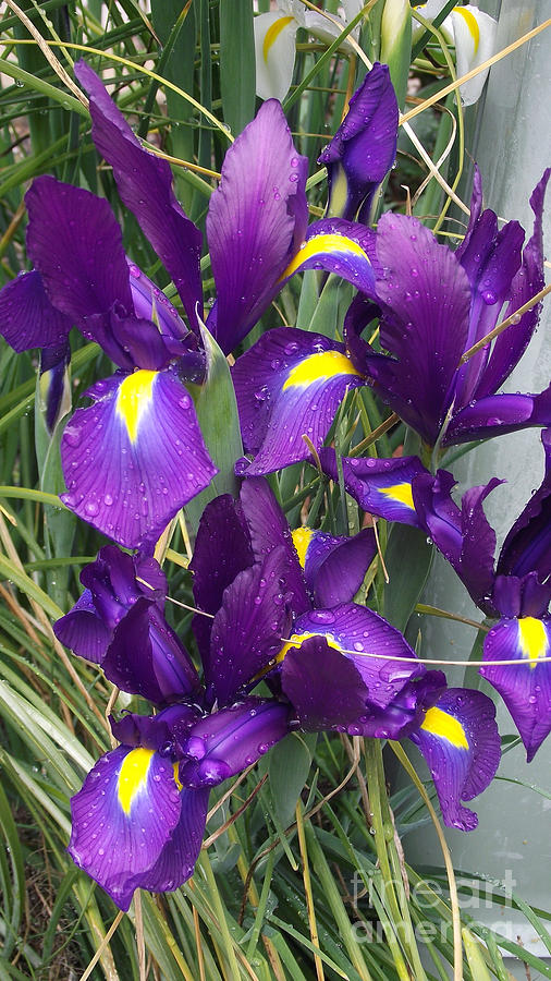 Flowers Photograph - Purple Iris by Gail Salitui