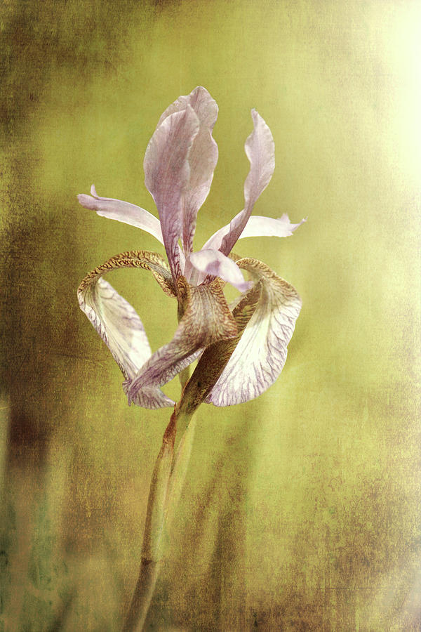 Purple Iris by Jackie Farnsworth
