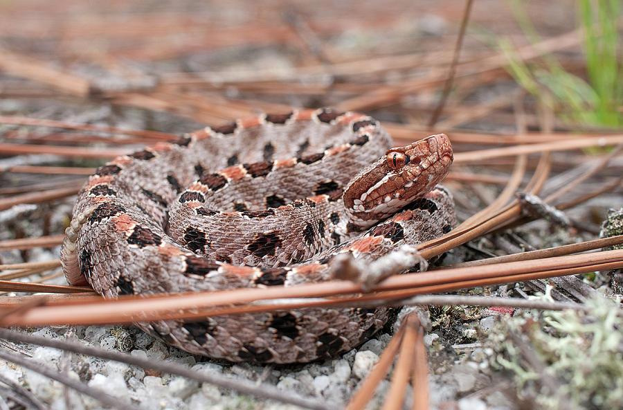 Pygmy Rattlesnake Photograph - Pygmy Rattlesnake by Derek Thornton