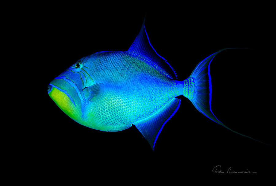 Queen Triggerfish 4773 Photograph