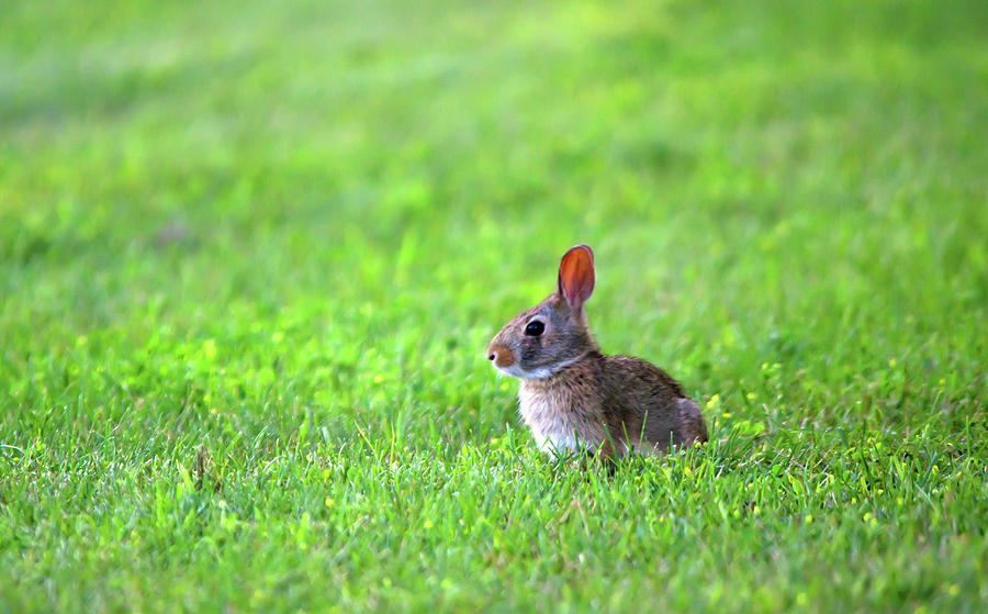 Rabbit Photograph - Rabbit by Linda Kerkau