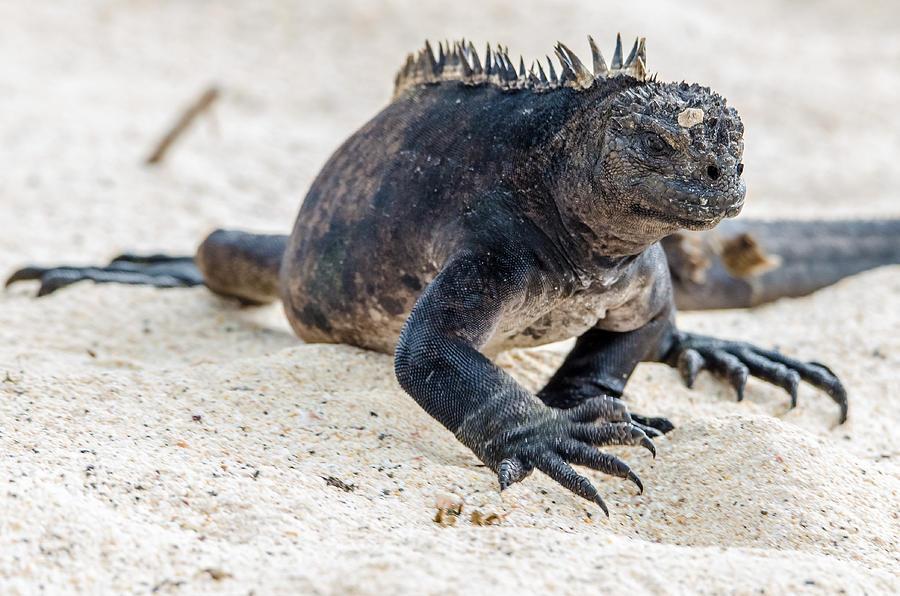 Galapagos Photograph - Rabida Marine Iguana by Harry Strharsky