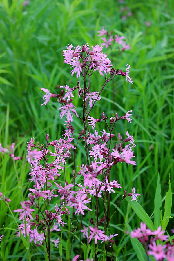 Hayfield Photograph - Ragged Robin by Brian Lucia
