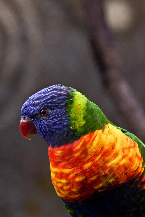 Bird Photograph - Rainbow Lorikeet by Douglas Barnett