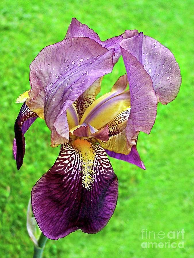Artist Photograph - Raindrops On Purple And Yellow Iris by Jenness Asby