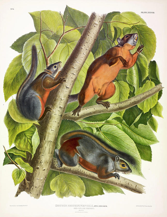 Squirrels Painting - Red-bellied Squirrel 1 by John James Audubon