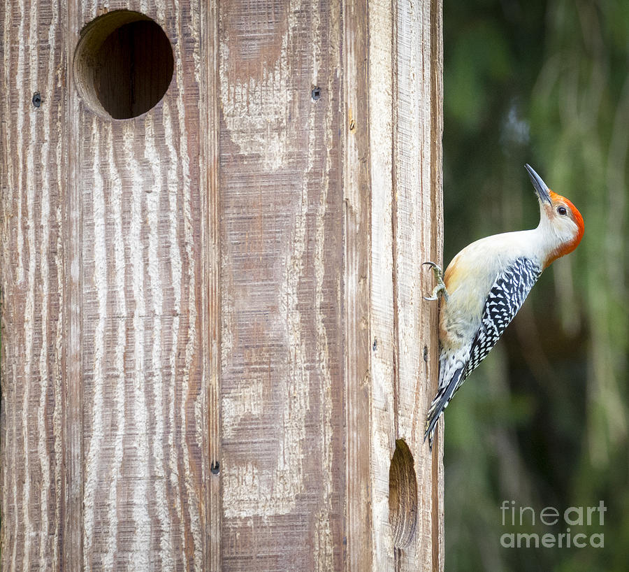 Canon Photograph - Red-Bellied Woodpecker by Ricky L Jones