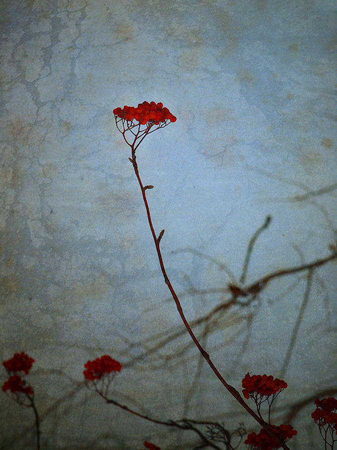 Blue Photograph - Red Berries Blue Sky by Tara Turner