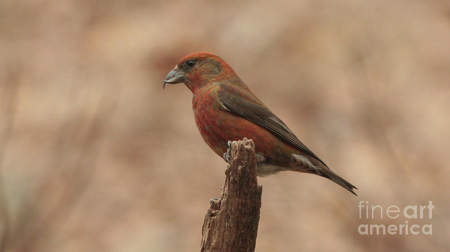 Red Crossbill by Charles Owens