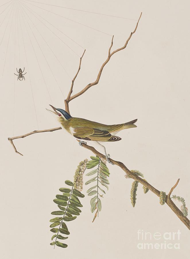 Audubon Painting - Red Eyed Vireo by John James Audubon