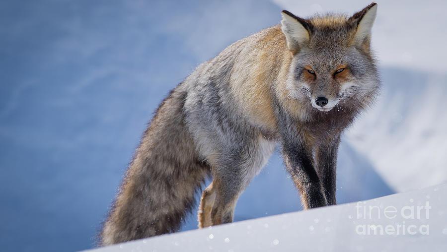 Red Fox by Brad Schwarm