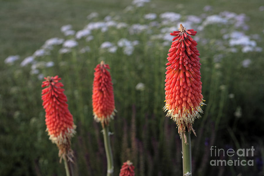 Red-hot Poker Photograph - Red Hot Pokers by William Kuta