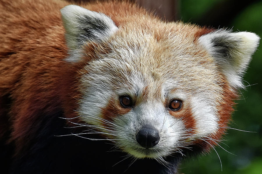 Red Panda by Kuni Photography