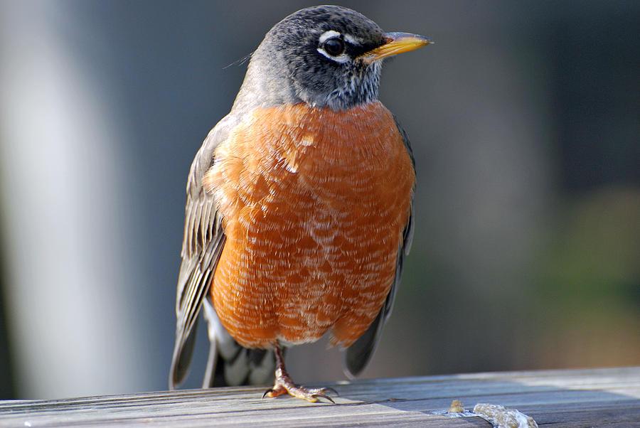 Blanton Photograph - Red Robin by Teresa Blanton