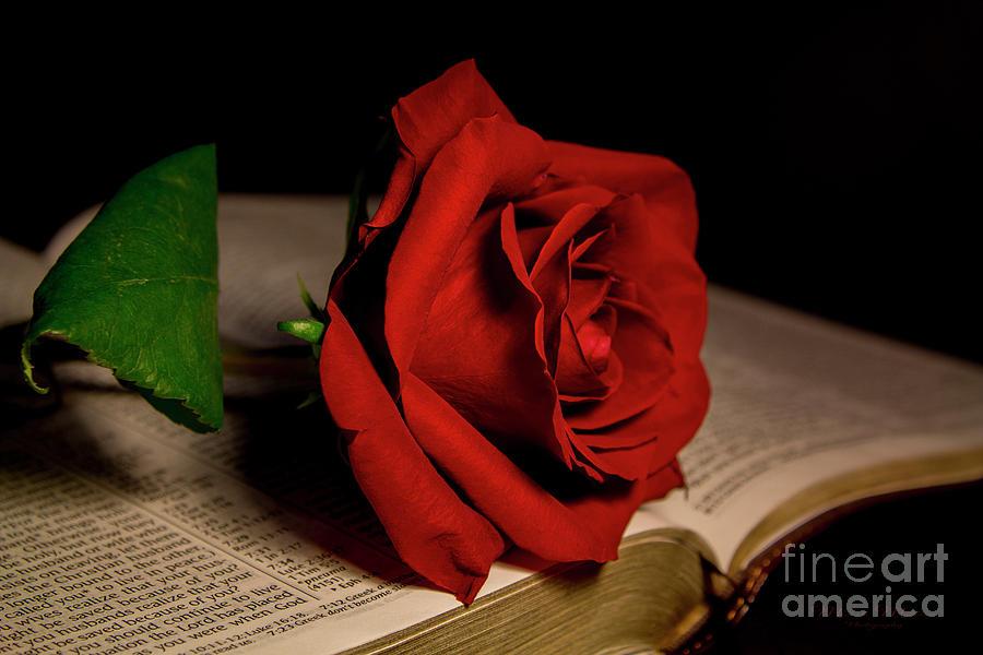 Red Rose by Mechala Matthews