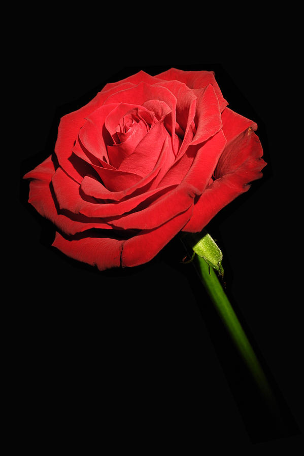 Red Rose On The Black Background Photograph By Arkadiusz