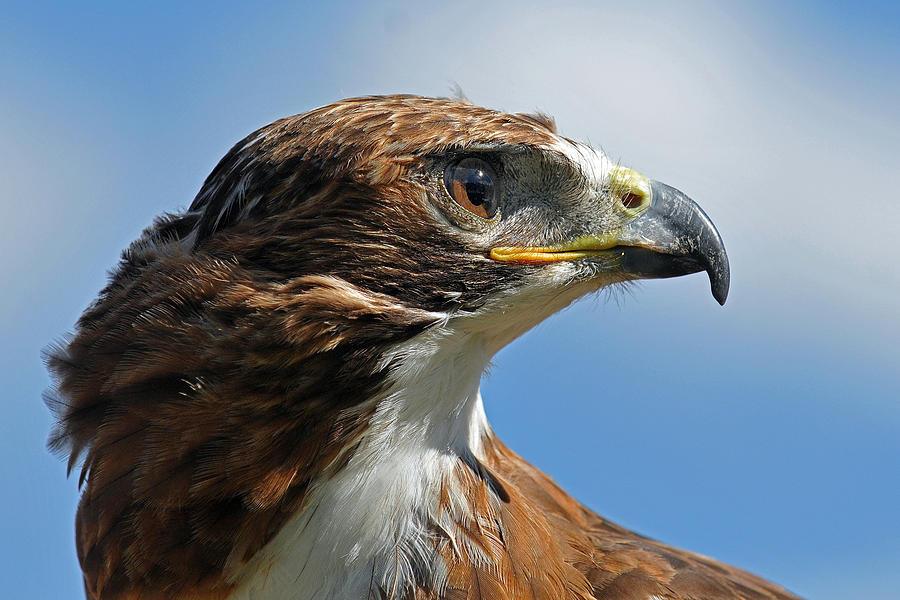 Red-tailed Hawk Photograph - Red-tailed Hawk by Alan Lenk