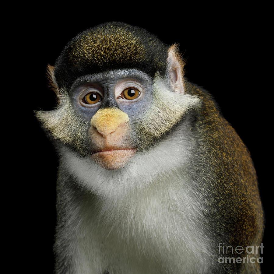 Red-tailed Monkey by Sergey Taran