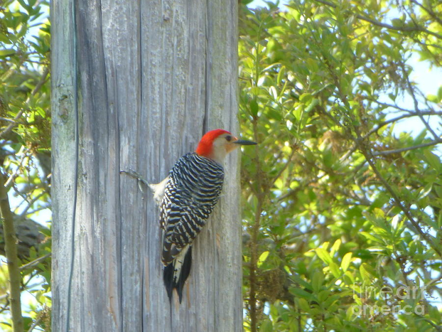 Photo Photograph - Redheaded Woodpecker by Marie Bulger