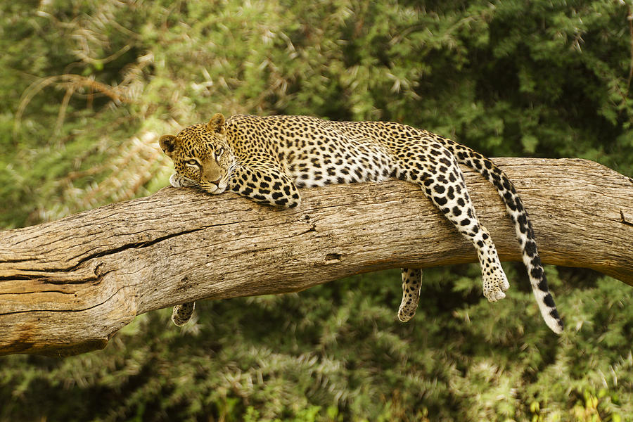 Africa Photograph - Relaxation by Michele Burgess