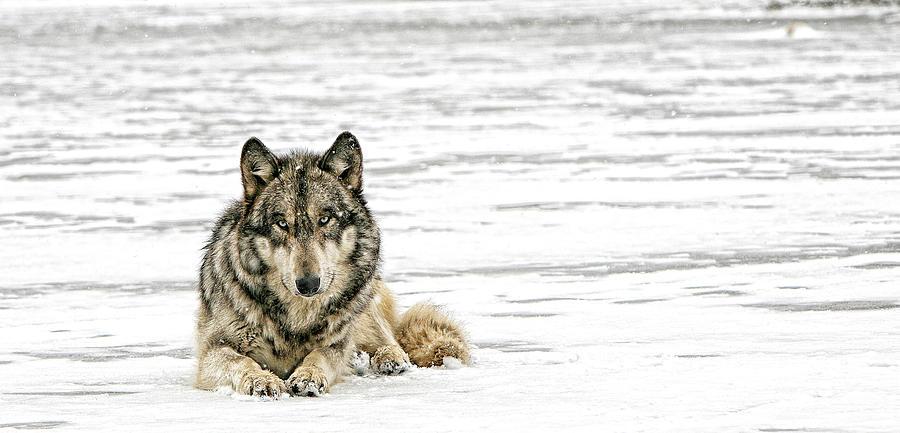 Wolf Photograph - Relaxed by Shari Jardina
