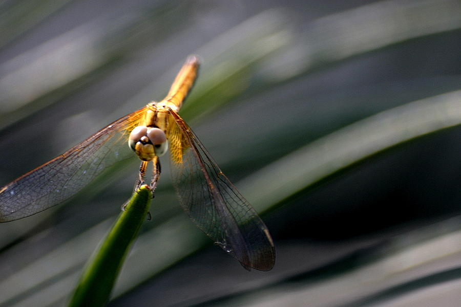 Dragon Fly Photograph - Resting by Mark Mah