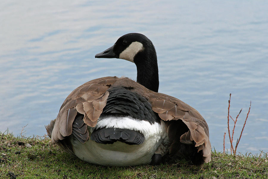 Canadian Geese Photograph - Resting by Rachel Roushey