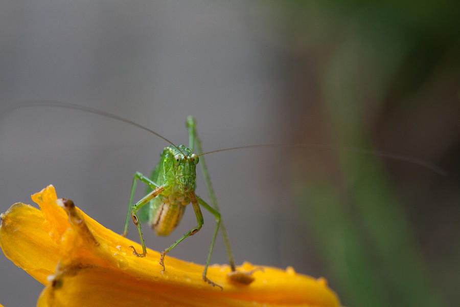 Grasshopper Photograph - Right At You  by Karol Livote