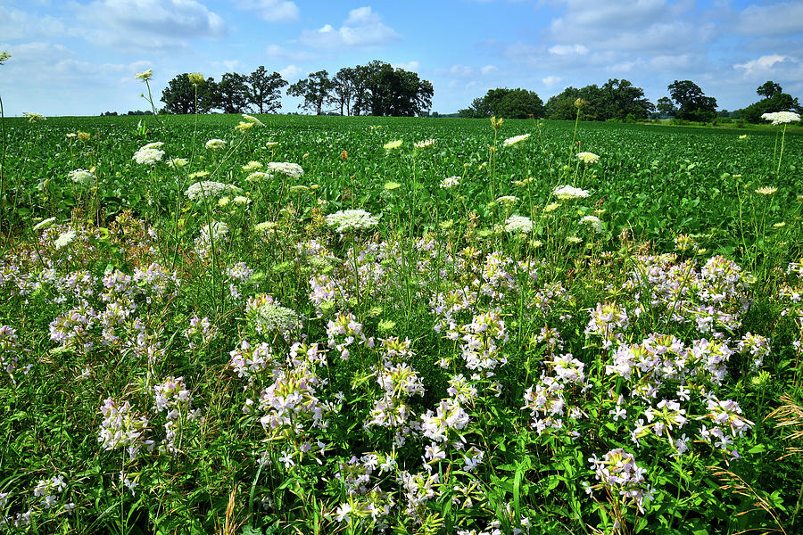 Mchenry County Photograph - Roadside Wildflowers In Mchenry County by Ray Mathis