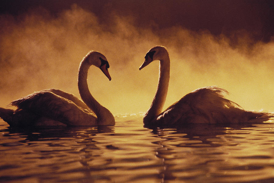 Afternoon Photograph - Romantic African Swans by Brent Black - Printscapes