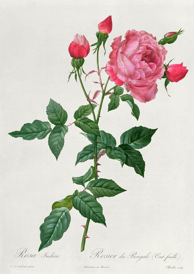 Rosa Drawing - Rosa Indica by Pierre Joseph Redoute