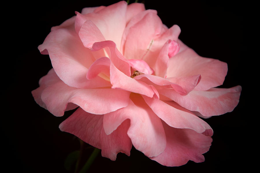 Pink Photograph - Rose by Camelia C
