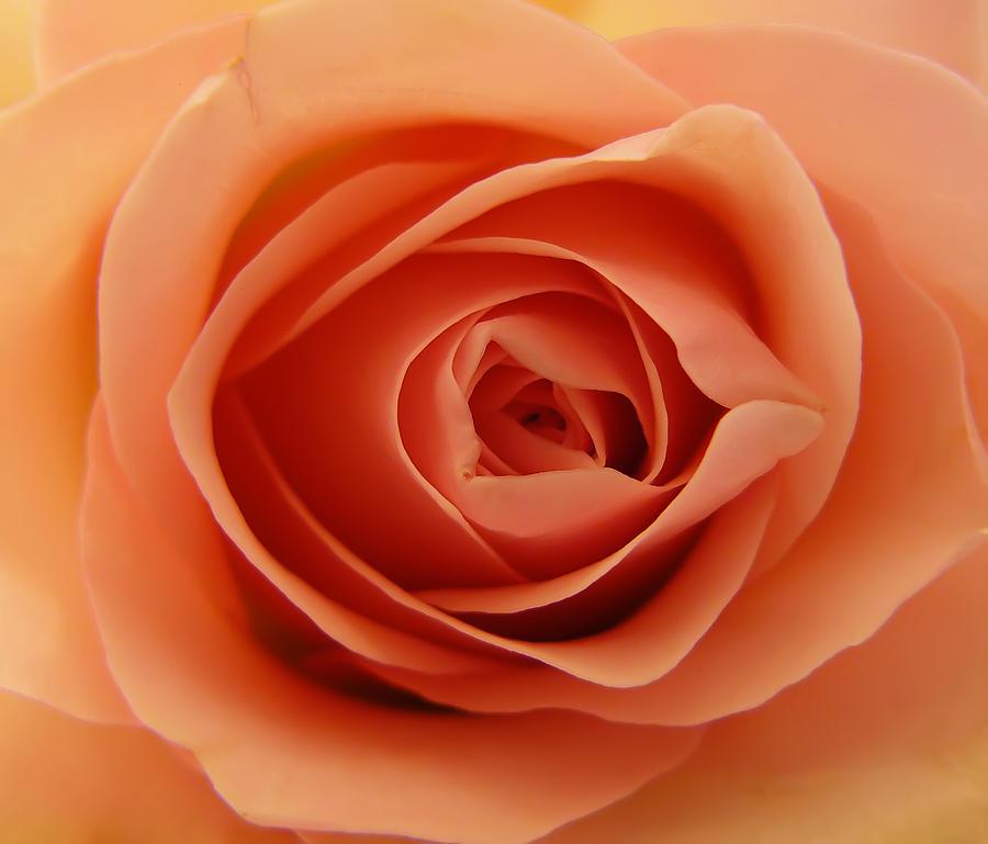 Rose Photograph - Rose by Daniel Csoka