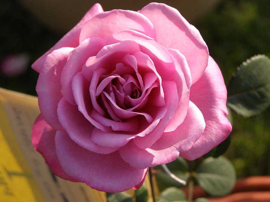 Pink Rose Photograph - Rose Exhibition by Rishabh Chauksey