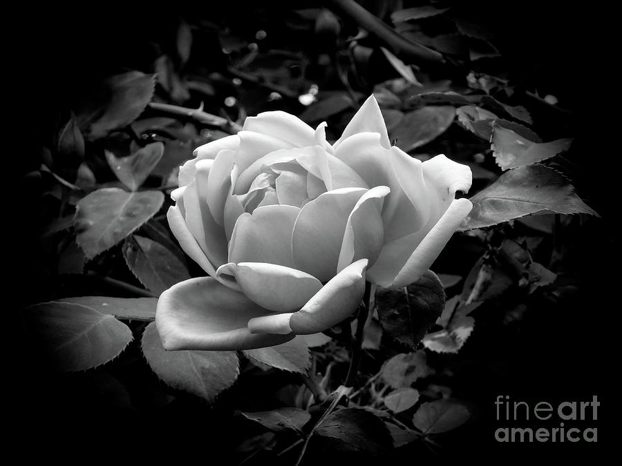 Rose by Fran Woods