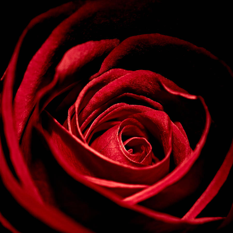 Anniversary Photograph - Rose I by Andreas Freund
