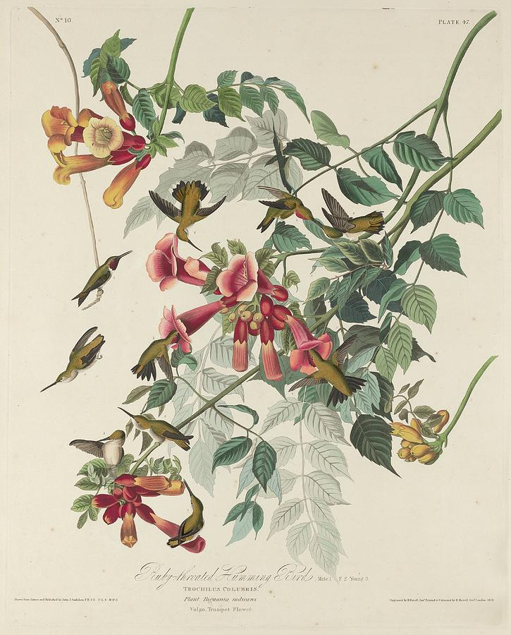 Audubon Drawing - Ruby-Throated Hummingbird by Dreyer Wildlife Print Collections