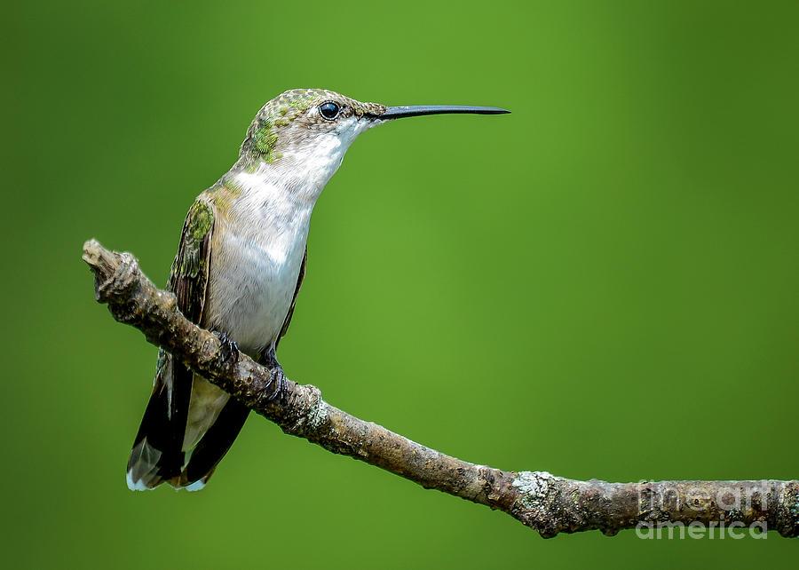 Ruby-throated Hummingbird by Katie Joya