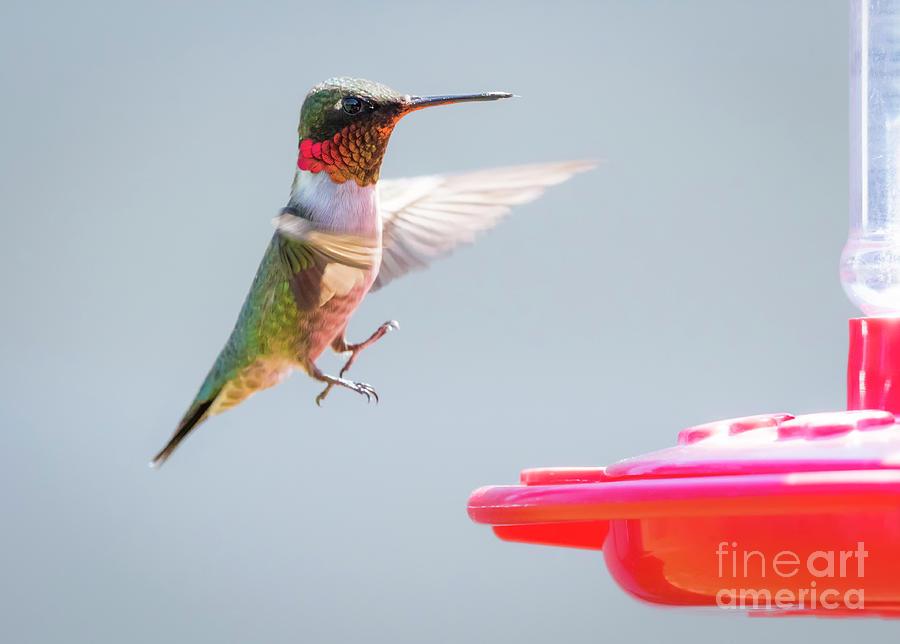 Canon Photograph - Ruby-throated Hummingbird  by Ricky L Jones