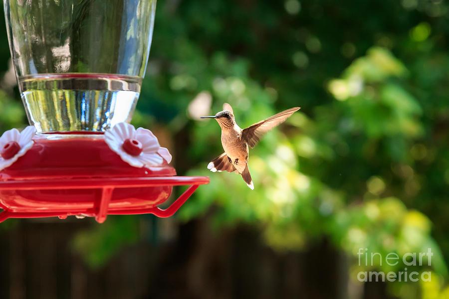 Rufous Hummingbird Photograph