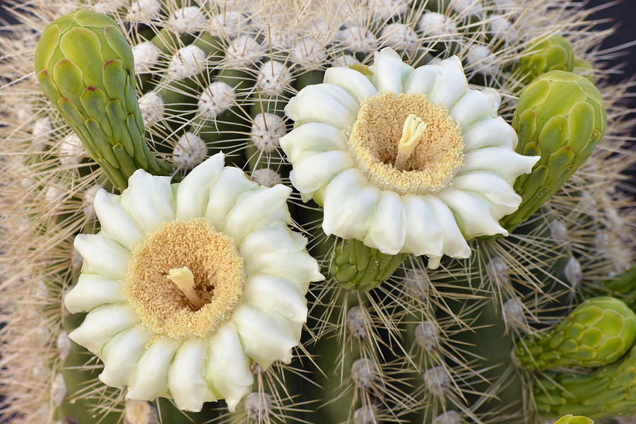 Saguaro Cactus Blossoms And Buds Photograph By Dean Hueber