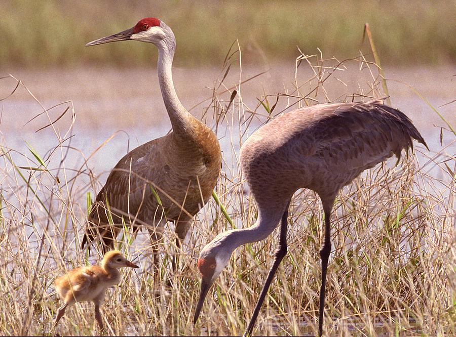 Sandhill Cranes Photograph - Sandhill Crane Family by Richard Nickson