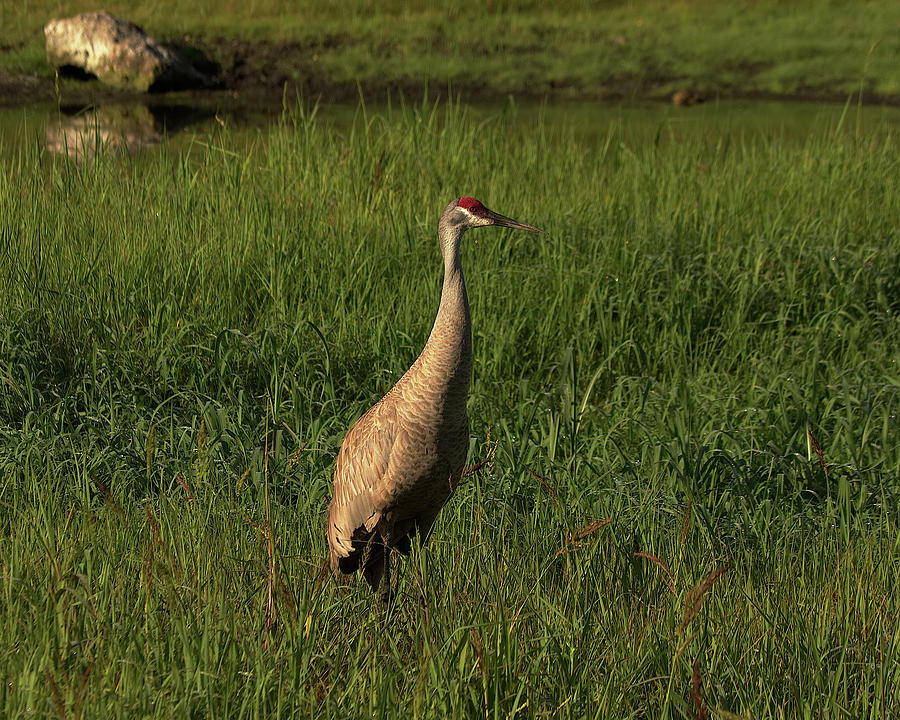 Sandhill Crane by Richard Rizzo
