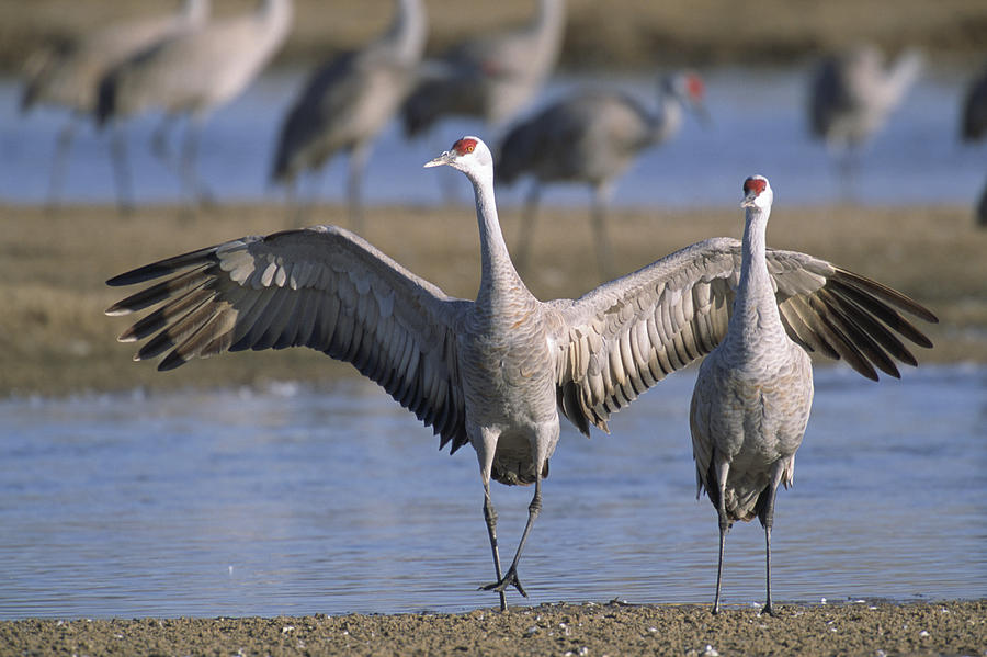 Nobody Photograph - Sandhill Cranes Roost Along The Platte by Joel Sartore